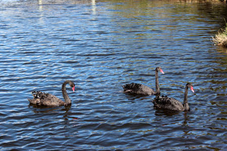 Three West Australian black swans swimming  on blue lake  photo