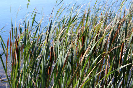 rushes: Green rushes at edge of blue lake Stock Photo