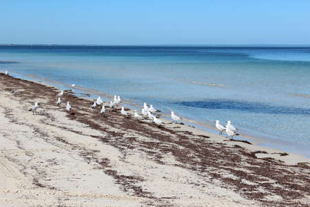 busselton: White seagulls on Busselton beach west Australia