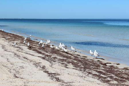 busselton: White seagulls on Busselton beach west Australia