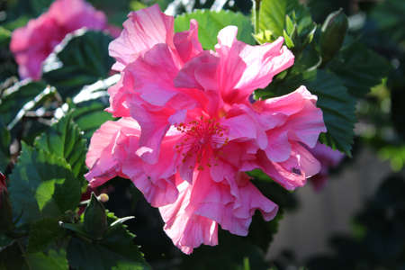 ed: Double pink hibiscus flower Ed s Rainbow in full bloom Stock Photo