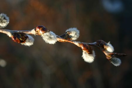 A close-up of a pussy willow branch. Stock Photo - 3068670