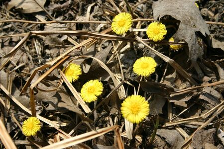 detritus: Spring wildflowers growing up through the debris of fallen leaves and dead grass.