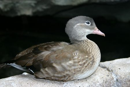 ringed: A female ringed teal, a species of duck native to South America. Stock Photo