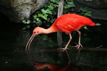 suriname: A scarlet ibis, a wading bird native to tropical South America.