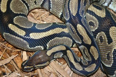 A close-up of a boa constrictor. photo