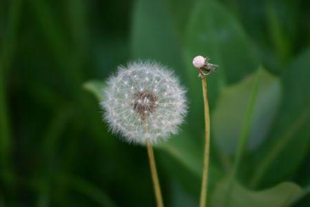 A close-up of a dandelion clock (puffball).