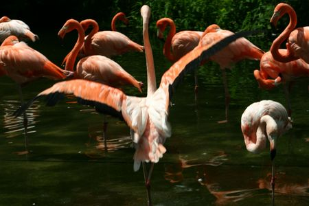 A pink flamingo flaps its wings while wading in a pond among its flock. photo