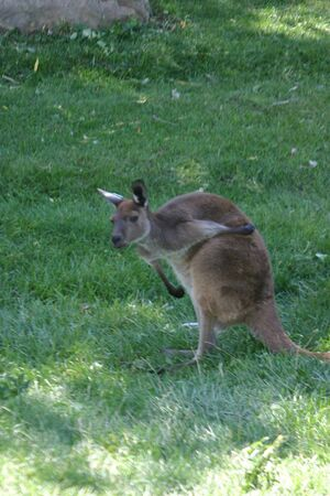 marsupial: A wallabee, a small marsupial closely related to the laeger kangaroo.