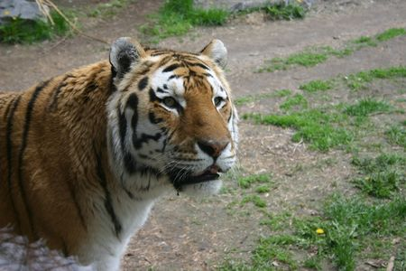 back and forth: A male siberian tiger paces back and forth in his enclosure in a North American zoo. Stock Photo