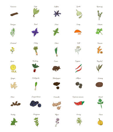 A large set of isolated herbs and spices for cooking on white background. Vector illustration Illustration