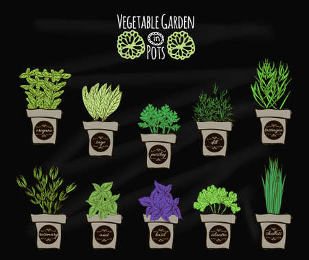 cilantro: A set of balcony spices for cooking on the chalkboard. Vector illustration