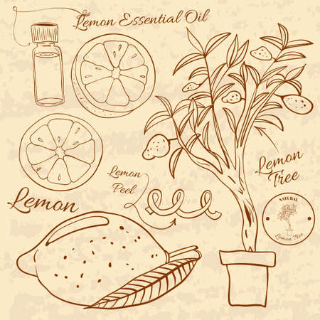 rind: Hand drawn illustration of a lemon set. Web Elements for design Illustration