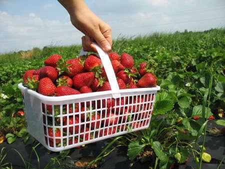 carying: Basket full of Strawberries