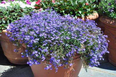 flores peque�as: Peque�as flores p�rpuras en la olla grande