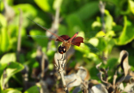 Red dragon fly resting on a leaf Stock Photo - 4761999