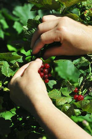 picks: Womans hand picks a redcurrant