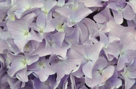 Purple Hydrangea  photo