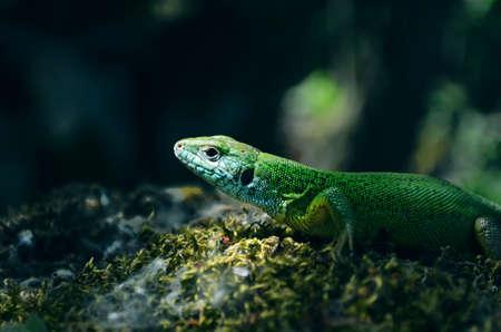 Closeup Of portrait green lizard