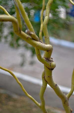Amore intrecciato ramo di un albero