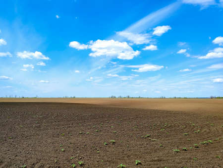 plowed field with sprouts seedlings and blue sky. agriculture plant grow . rural farmland landscape.