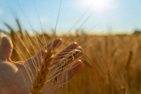Male hand holding a golden wheat ear. wheat field on the background. rich harvesting. Hands hold yellow ear wheat
