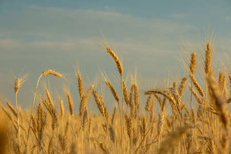 golden wheat field, ears of wheat close up background. golden wheat field in summer Zdjęcie Seryjne