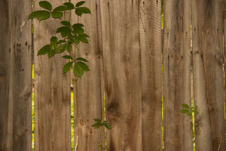 Background of the old wooden parallel planks with green leaves (foliage). Фото со стока