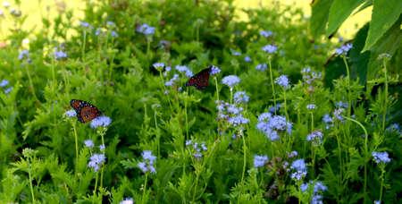 Monarch Butterflies in Blue Flowers