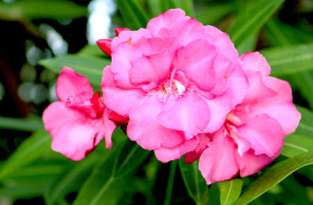 Pink Oleander Flower Plant Up Close