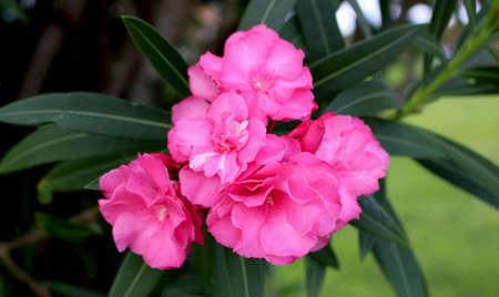 Pink Oleander Flower Plant
