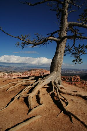 hardship: Old pine tree with exposed roots at the rim of Bryce Canyon National Park Utah.