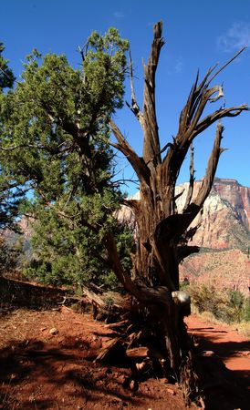 bristlecone: Bristlecone pine tree on desert mountain.