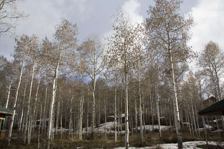 Grove of Quaking Aspen trees in mountains near Heber City, Utah in the early Spring photo