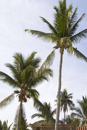 熱帯のヤシの木