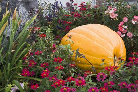 large pumpkin: Large pumpkin in colorful flowerbed.