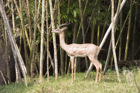 thickets: Gazelle in bamboo thicket