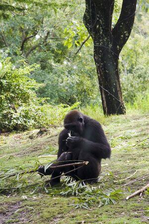 Gorilla in grassy area