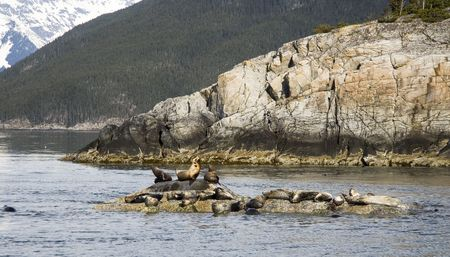 sunning:  Seals resting and sunning themselves on rocks near Skagway Alaska
