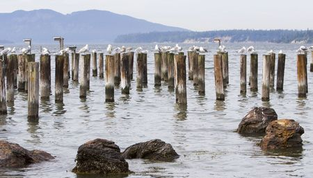 remains: Seagulls sitting on the remains of pier posts in the Pacific Ocean near Seattle Washington Stock Photo