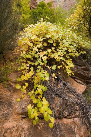 changing colors: Fall in Zion National Park Utah with the leaves changing colors