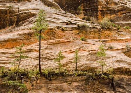 Five peculiar trees gorwing in Zion National Park in Southern Utah in the Western part of the United States Imagens
