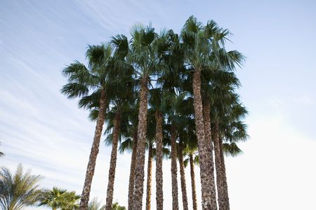 warm climate: Clump of  palm trees at sunset in a warm climate against a blue sky