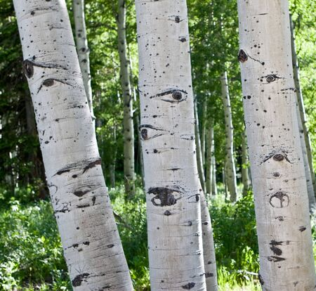 quaking aspen: Group of quaking aspen trees growing close together in the high mountains