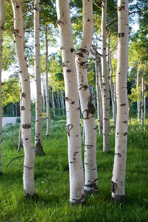 Group of quaking aspen trees growing close together in the high mountains