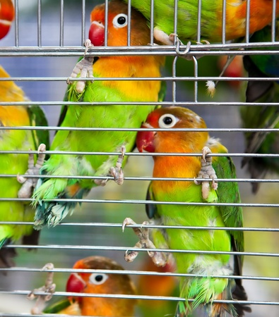 lovebirds: A pair of beautiful and colorful lovebirds clinging to cage side. Stock Photo