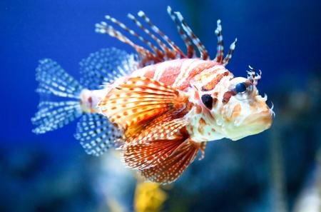 Beautiful adult Lionfish swimming peacefully in a saltwater fish aquarium