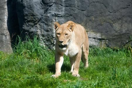 라이오 네 스는 먹이를 찾고 사냥에 잔디를 통해 서성 거리고