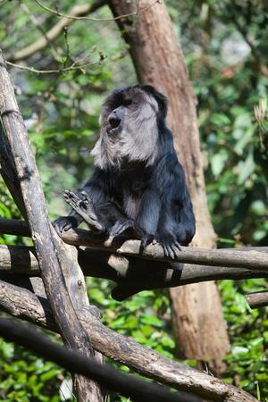 Black colored fur small monkey climbing tree in summer sunshine
