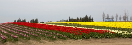 Field with multiple colors of tulips on a farm near Seattle, Washington Stock Photo - 17975367